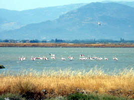 flamingos, Lesvos, Greece