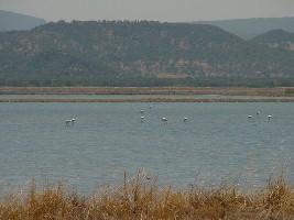 Flamingos in Kaloni, Lesvos