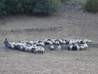 Sheep in Lesvos